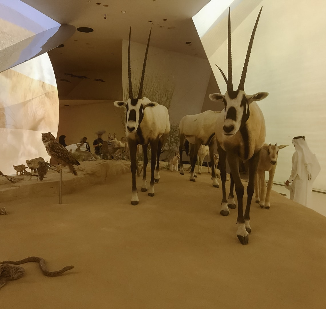 National Museum of Qatar - Oryx and other wildlife displayed in the first gallery