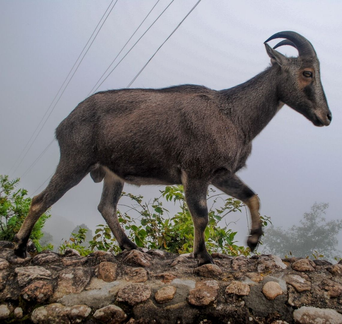 10 Day Kerala Itinerary - Nilgiry Thar Mountain Goat walking along a wall