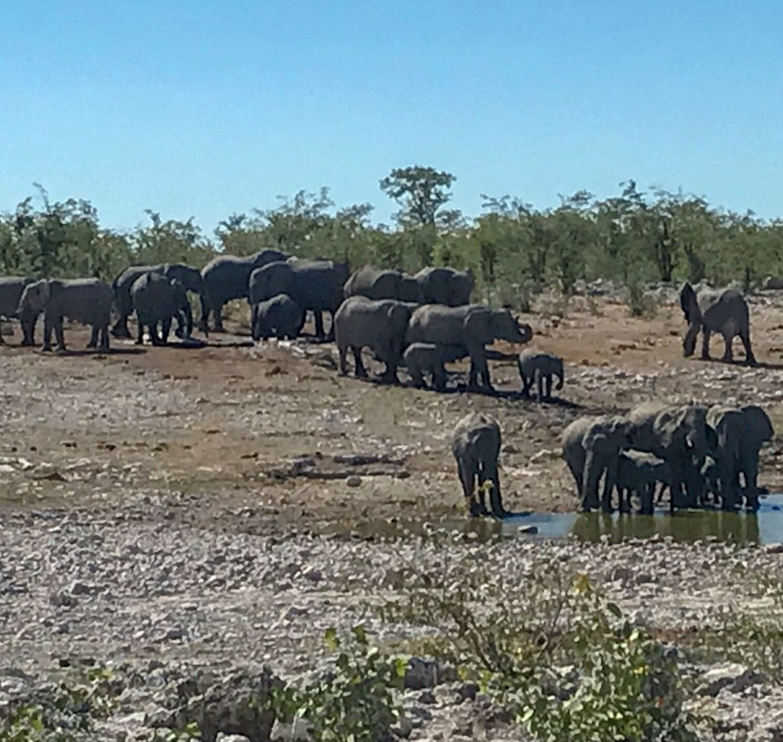 2 Week Namibia Itinerary - a heard of around 30-40 elephants are by a watering hole in Okaukuejo. There are babies and adults. Some are stood up a bit on a slope while others are in the water.