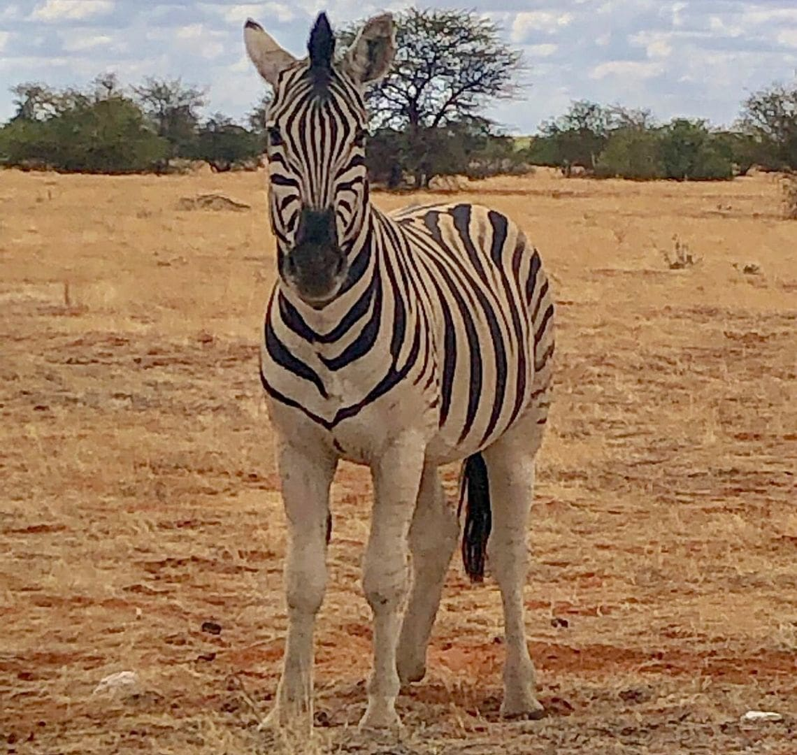 2 Week Namibia Itinerary - a zebra takes up most of this photo. It is stood on red sand covered in dry, yellow grass. In the background there are some small green trees and shrubs. The zebra is looking directly at the camera.