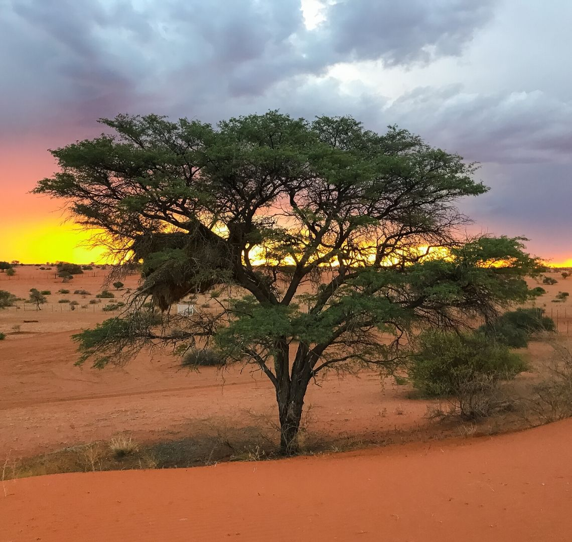 2 Week Namibia Itinerary - sunset in the Kalahari, this is a green tree in the foreground growing out of burnt red sand. On the horizon is a bright red, yellow and orange sunset with purple and grey storm clouds on the right