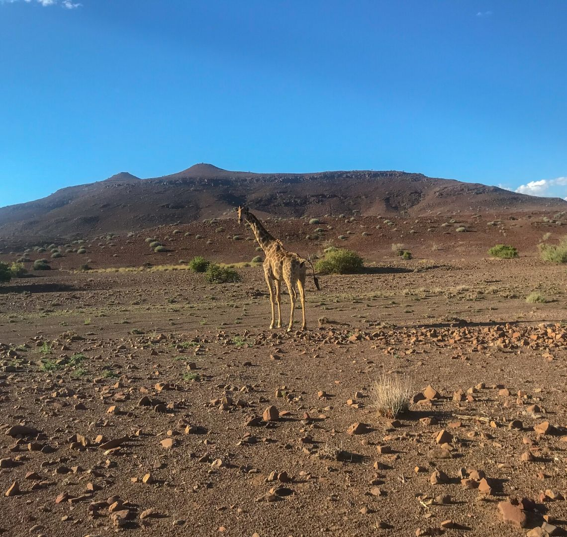 2 Week Namibia Itinerary - a lone giraffe standing on scrubby ground in Palmwag Concession area. It has turned to look at us as if to marvel at us as much as we marvel at it.