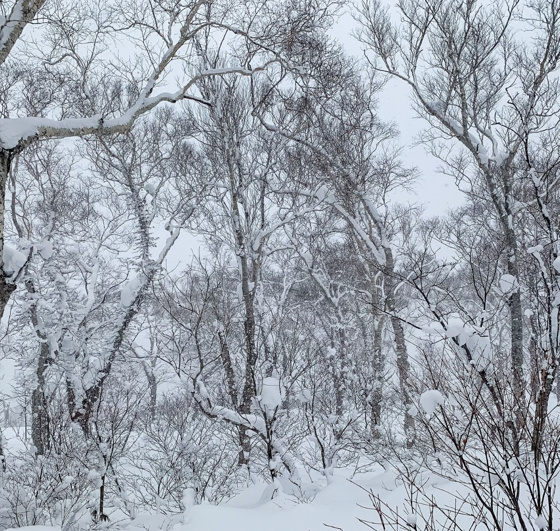 5 reasons to go family skiing in Niseko - I took this photo when I was right in the middle of the trees ,it had just stopped snowing and the trees were heavy with snow and the sky is still white.