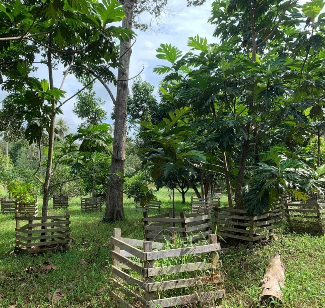 Ubin Fruit Orchard. There are a number of trees, each surrounded by a protective wooden fence. There are lots of very green leaves and the grass is green. Through the trees you can see a very watery blue sky.