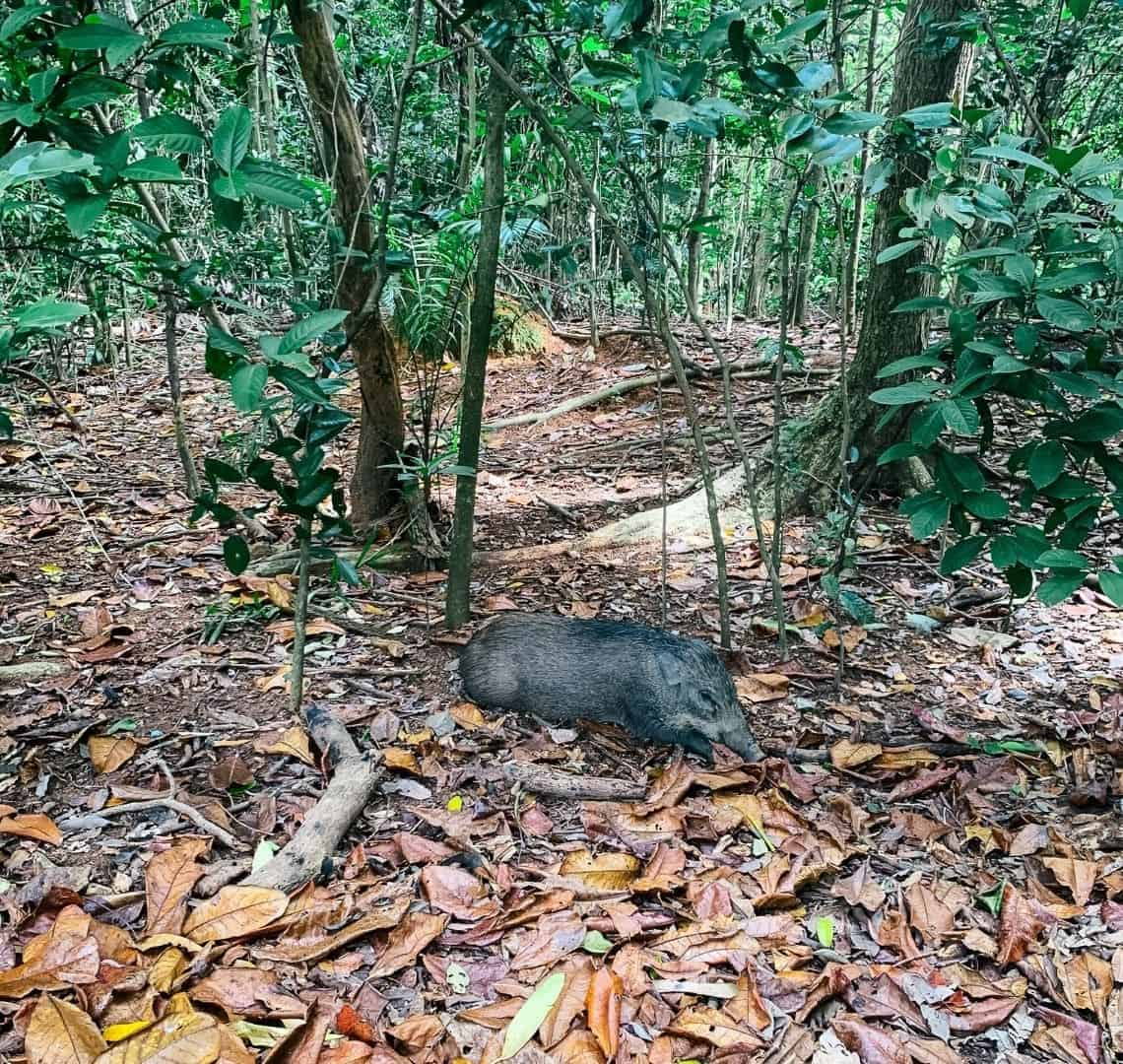 A wild boar is in teh middle of the image. It is lying down on a floor of fallen leaves that are vary-ious shades of brown and yellow. there are several shrubs and trees around.