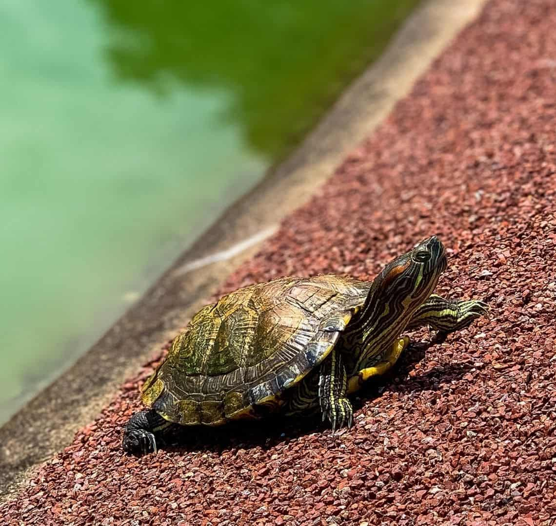 The main subject, a turtle with intricate patterns all along it's head, neck, legs and shell is in focus. It is on a red paved sloped surface which is also in focus. In the background and out of focus is the green water of a pond.
